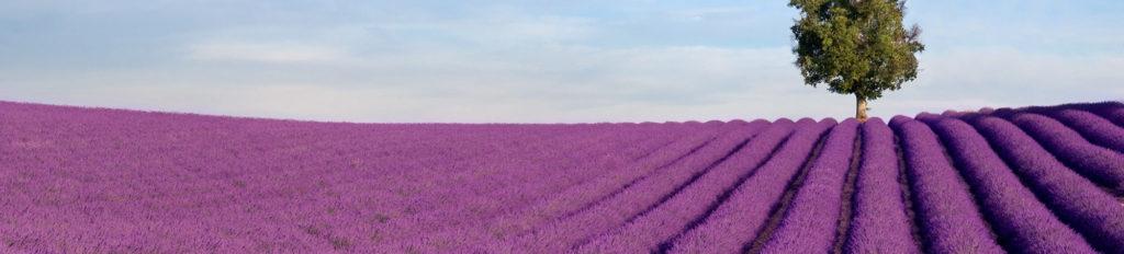 Champs de lavande proche de la location hibiscus