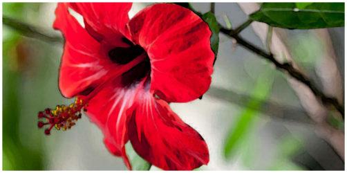 Location les hibiscus