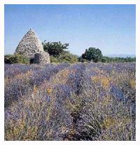Tourisme Provence: Lavande